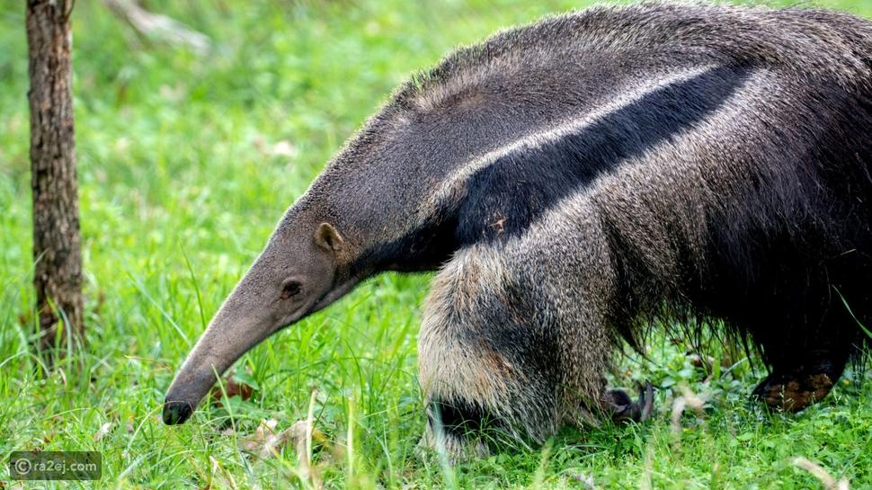 أغرب عادات تناول الطعام لدى الحيوانات: رقم 17 يرتوي من دموع السلاحف