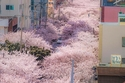 أحد الأحيان المتواجدة في كوريا الجنوبية مغطاة بالورود