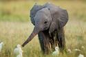 الفيل الصغير مع البط