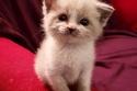 القطة Blossom
