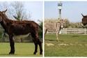 صور: الحمار العملاق..  ينافس على لقب أضخم حمار في العالم بطول 153 سم