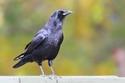 27 صورة سوف تُغير نظرتك للغراب: الطائر صاحب الذكاء الحاد وخفة الظل