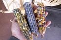 صور: ذرة بألوان قوس قزح اخترعها مزارع على طريقة الهنود الحمر