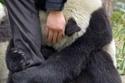 حضن الباندا
