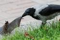 التقاء خفاش مع غراب