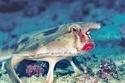 السمكة الخفاش