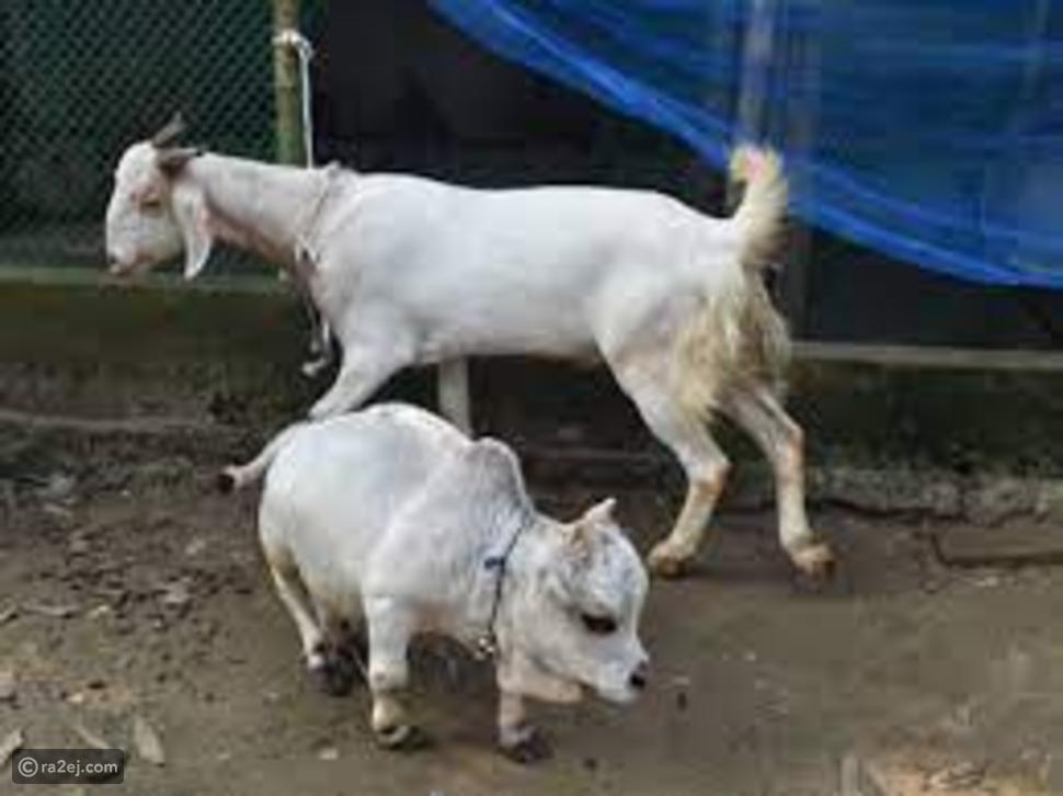 ولادة أصغر بقرة في العالم ببنغلاديش