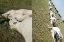صاعقة برق تضرب قطيع أبقار