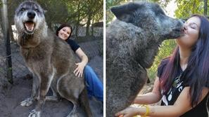 صور: هجين من أنثى كلب وذئب.. حيوان عملاق يثير الدهشة بفصيلة ثلاثية !