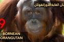 إنسان الغابة الأورانغوتان