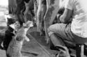 قطان يلتقطان نافورة من الحليب الطازج في مزرعة للالبان عام 1954