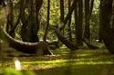 الغابات الراقصة
