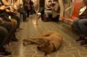 كلب في عربة مترو الأنفاق