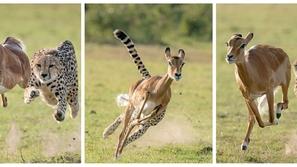 صور: سحر الحياة البرية.. مطاردة قوية وجميلة نهايتها مؤلمة