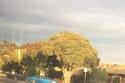 الشجرة التي تشبه القرنبيط الضخم