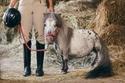 فيديو وصور: طوله 56.7 سم.. تعرفوا على أقصر وألطف حصان في العالم