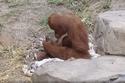 وُلد حيوان جديد من فصيلة إنسان الغاب السومطري المهددة بالانقراض