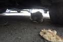 القط يموء جائعاً تحت أحد السيارات