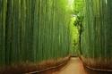 غابة بامبو الساجانو في اليابان