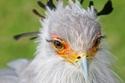 صور الطائر السكرتير صاحب أجمل عيون في الطبيعة
