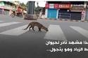 قط الزباد يتجوّل في الوشارع في لقطة نادرة