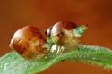 حلزون الزومبي Zombie Snail