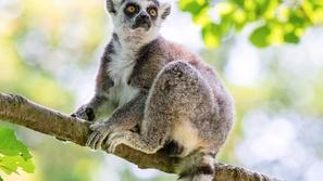 مراهق يسرق ليمور نادر مهدد بالانقراض من حديقة حيوان لسبب غريب!