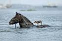 حصان ينقذ كلب