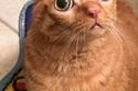 القطة بطاطا لديها عينين جاحظتين