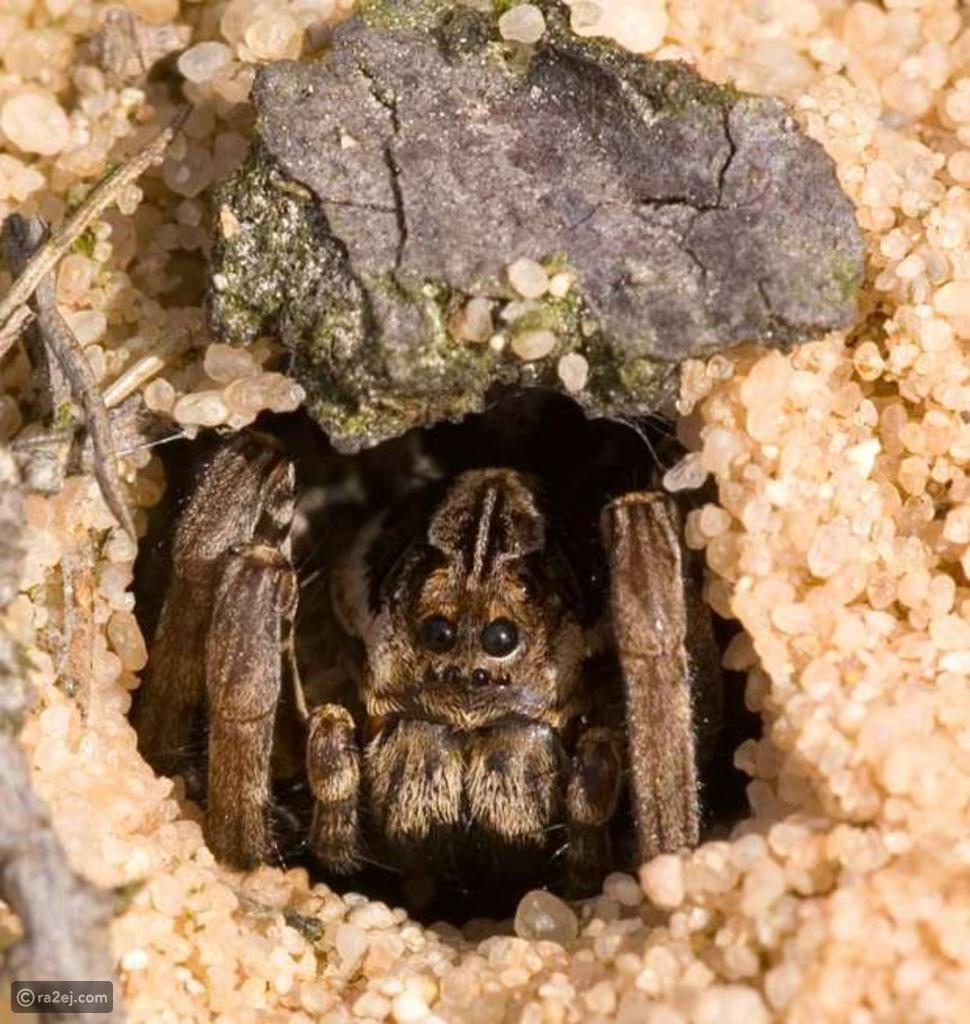 عنكبوت قاتل يعاود الظهور بعد انقراضه منذ 25 عاماً