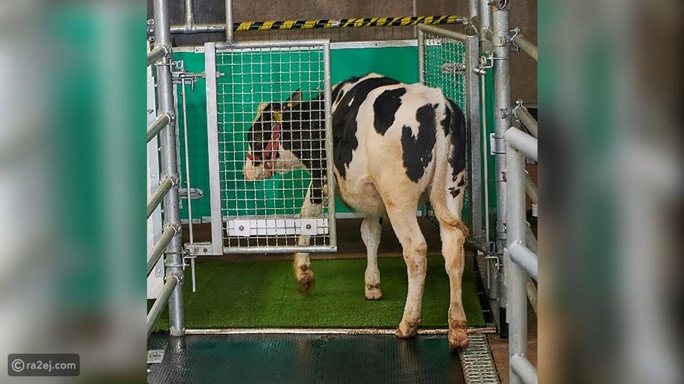 الآن يمكنك تدريب الأبقار على استخدام المرحاض: إليك الطريقة 😅🐄