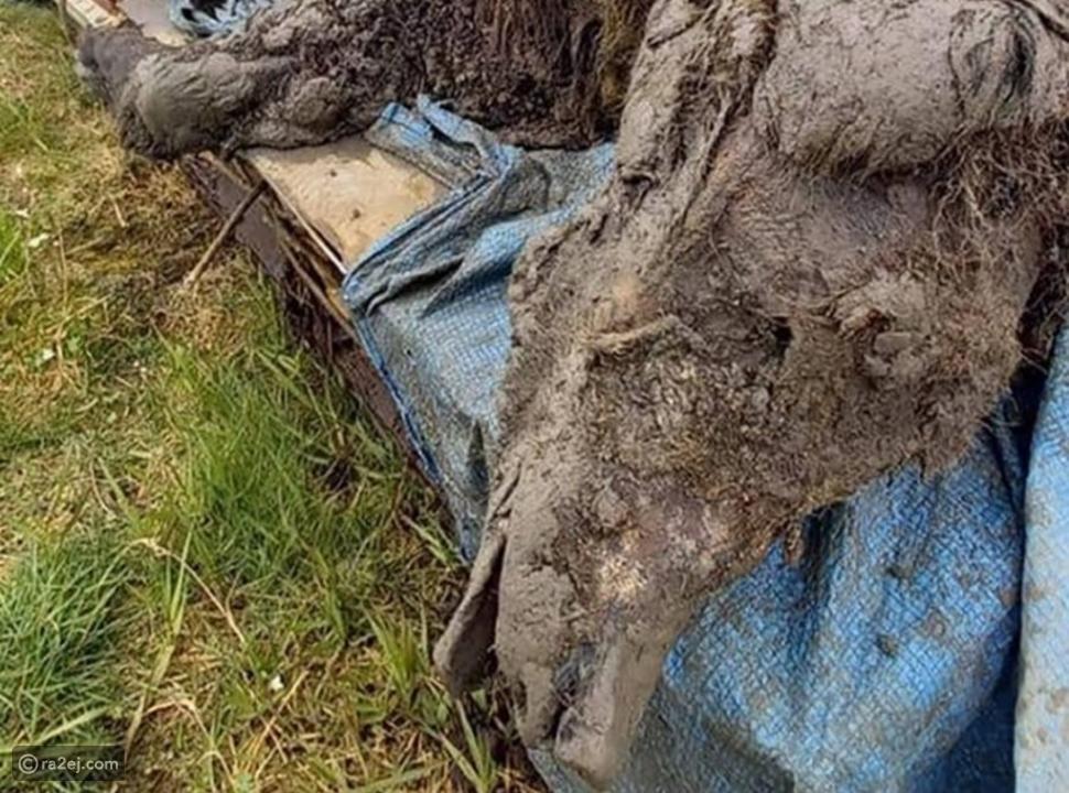 العثور على جيفة دب كهفي عمره 22 ألف عام: عاش في القطب الشمالي