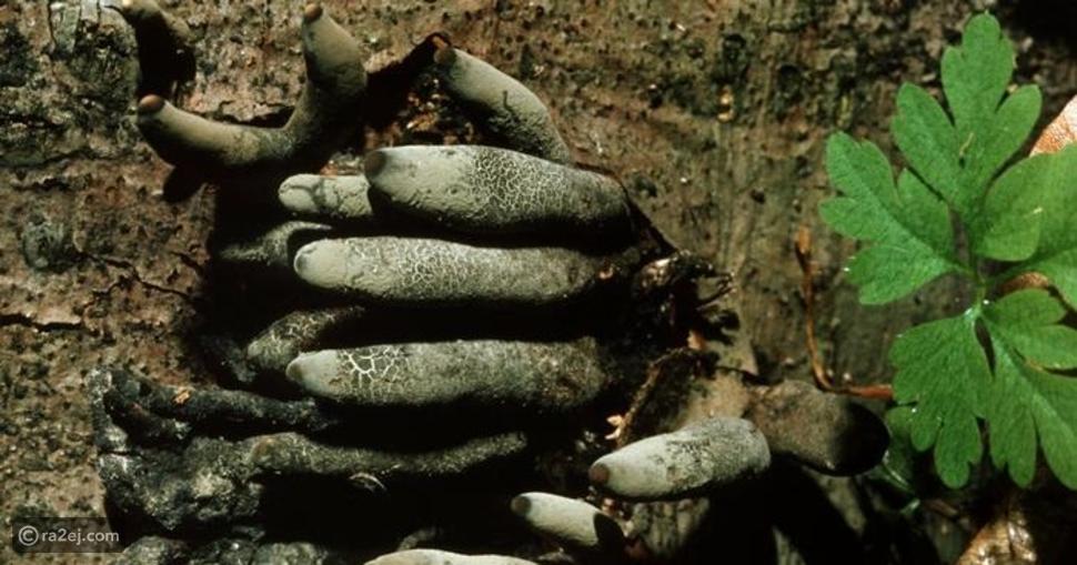 فطر ينمو على شكل أصابع زومبي: يجذب الحشرات ولا ينصح بتناوله