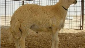 سعودي يشتري خروفاً بمليون ريال