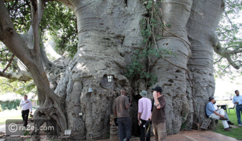 مقهى بداخل شجرة ضخمة عمرها أكثر من 6000 عام!! - رائج