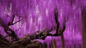 بالصور: شجرة في اليابان تبلغ من العمر ١٥٠ عاما تذهب العقل من جمالها