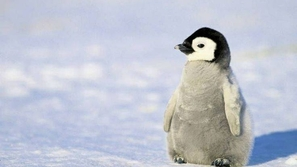 بالصور: أطفال البطريق يحبسون الأنفاس