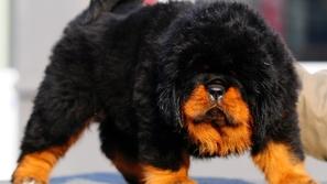 30 نوع وسلالة غريبة وفريدة من نوعها من الكلاب يجب أن تعرفها في حياتك