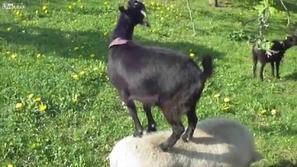بالفيديو : ماعز متهور يتسلق خنزيرا.. ليأكل!