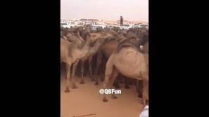 بالفيديو: فوضى تدفع عشرات الإبل لمحاصرة لكزس بمزاين أم رقيبة