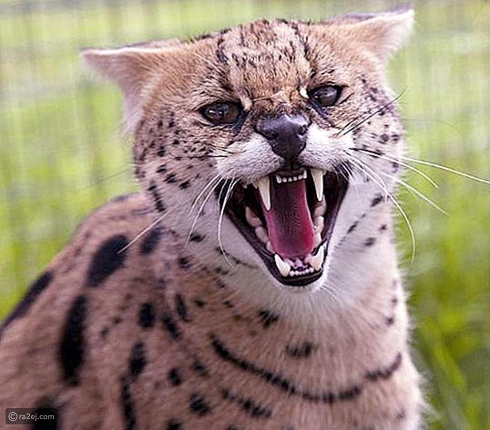 القط النمر يهرب من المنزل وأسرته تحذر من مطارته كحيوان مفترس