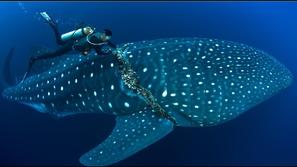 فيديو يرصد محاولة تحرير قرش الحوت: المهمة تمت بأعجوبة