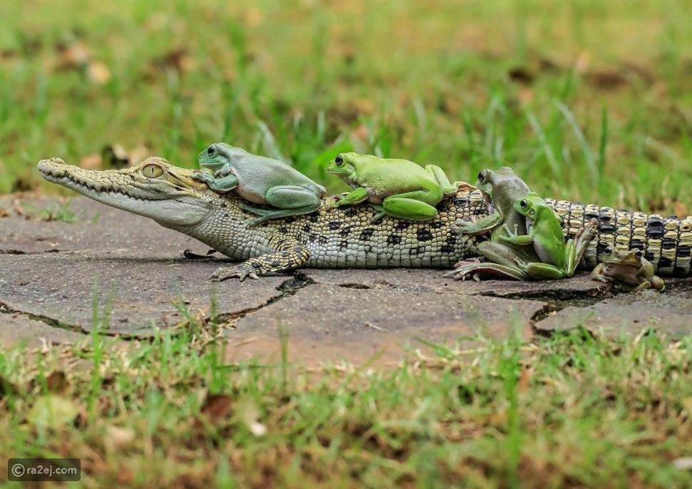 صورة لا تصدق تثبت أن هناك صلة قرابة وعلاقة طيبة بين التمساح والضفادع!