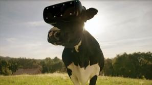 الأبقار تستخدم نظارات الواقع الافتراضي فما السر ورائها؟