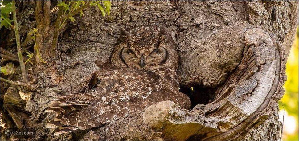 بومة تقوم بعملية إخفاء لصغارها بشكل مذهل مستعينة بجذع شجرة