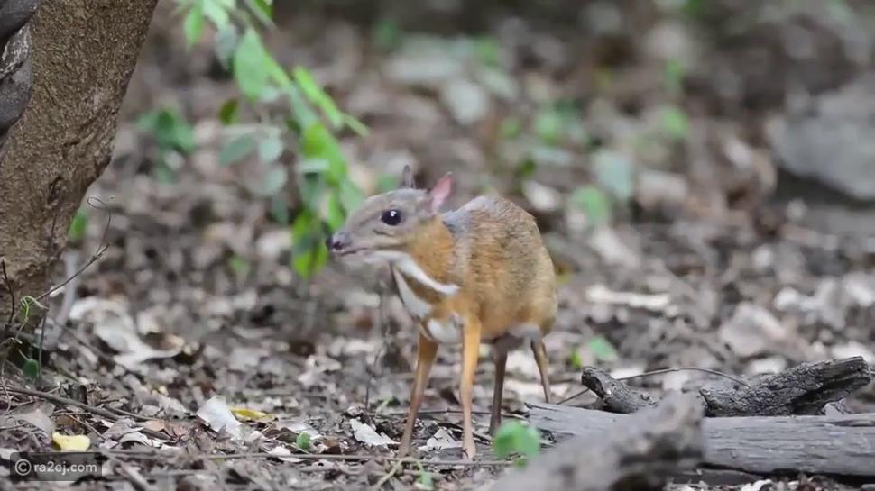 لأول مرة منذ 25 عاماً ظهور الفأر الغزال تعرف عليه وأماكن تواجده؟