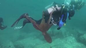 فيديو: لقطات تحبس الأنفاس لأخطبوط يحاول أسر غواص بأذرعه!