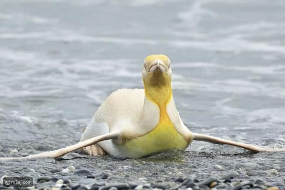 أول صورة للبطريق الأصفر في القطب الجنوبي: لونه فريد ومميز