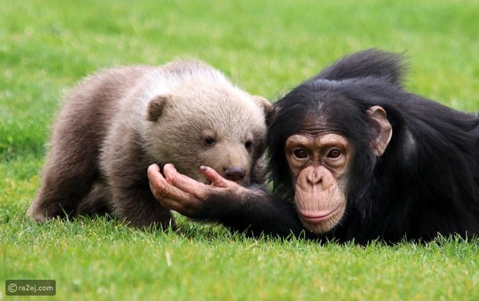 الصداقة بين الحيوانات: شمبانزي يصادق دب في حديقة الحيوانات التركية