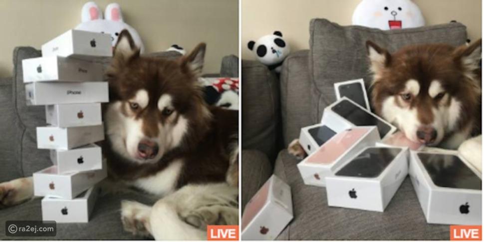 حدثنا عن شعورك عندما تعلم أن هذا الكلب المدلل يمتلك 7 هواتف iPhone 7!